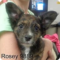 Adopt A Pet :: Rosey - Greencastle, NC