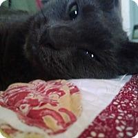 Adopt A Pet :: Simmybelly= - Little Neck, NY
