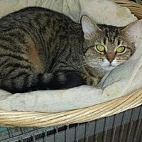 Domestic Shorthair Cat for adoption in Iroquois, Illinois - Bliss