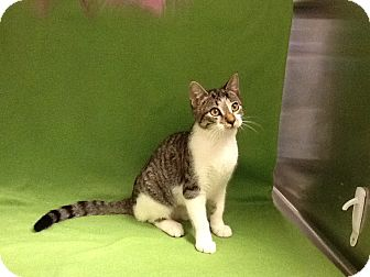 Domestic Shorthair Cat for adoption in Houston, Texas - Crawdad