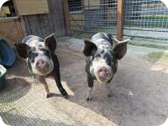 Pig (Farm) for adoption in Quilcene, Washington - Louise & Ethel
