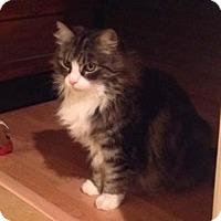 Adopt A Pet :: fluffy - Laguna Woods, CA