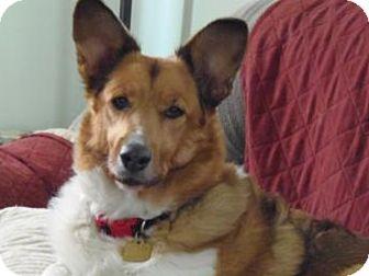 Collie/Corgi Mix Dog for adoption in S. Pasadena, California - Sarah