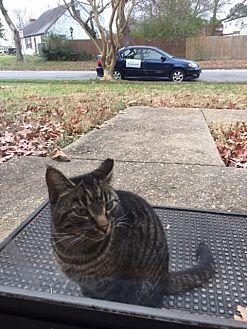 Domestic Shorthair Cat for adoption in Hampton, Virginia - Maggie (Courtesy Listing)