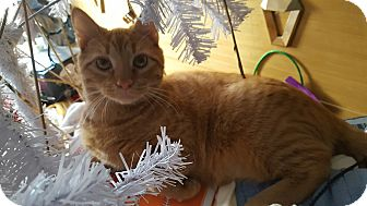 Domestic Shorthair Cat for adoption in Virginia Beach, Virginia - Fanta