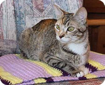 Domestic Shorthair Cat for adoption in Flower Mound, Texas - Jocelyn