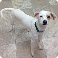 Adopt A Pet :: Little Foot - Urbana, OH
