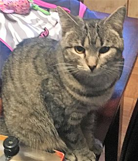 Domestic Shorthair Kitten for adoption in Acme, Pennsylvania - PRIUS