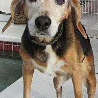 Adopt A Pet :: Ginger - Sarasota, FL