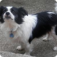 Adopt A Pet :: Brody - Clarksville, TN