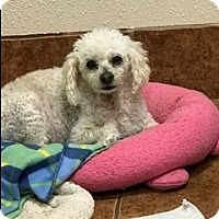 Adopt A Pet :: SUGAR - Fort Worth, TX