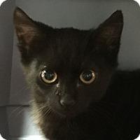 Adopt A Pet :: Inky LS - Schertz, TX