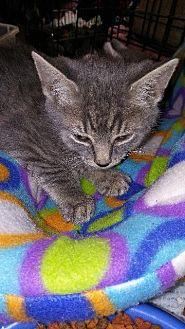 Domestic Shorthair Kitten for adoption in Raleigh, North Carolina - Rey