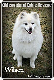 American Eskimo Dog Dog for adoption in Elmhurst, Illinois - Wilson