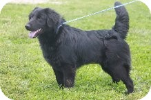 Flat-Coated Retriever Dog for adoption in Russellville, Kentucky - Caroline
