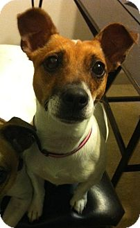 Jack Russell Terrier Dog for adoption in Chicago, Illinois - LAYLA
