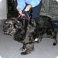 Australian Shepherd/Labrador Retriever Mix Dog for adoption in Sparta, Wisconsin - Trixie