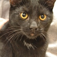 Domestic Shorthair Cat for adoption in Toledo, Ohio - Ylang Ylang