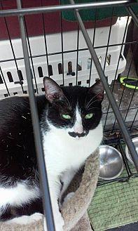 Manx Cat for adoption in Sarasota, Florida - Ralphie