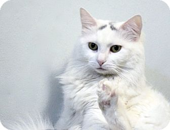 Domestic Longhair Cat for adoption in New York, New York - Jocelyn
