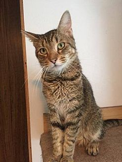 Domestic Shorthair Cat for adoption in Hanna City, Illinois - Keewan