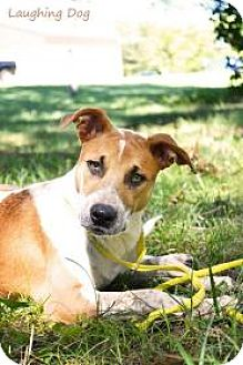 Australian Cattle Dog/Labrador Retriever Mix Dog for adoption in Stillwater, Oklahoma - Tamera