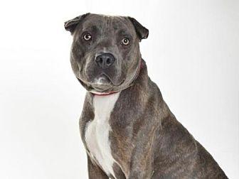 Pit Bull Terrier Dog for adoption in Burbank, California - BATMAN