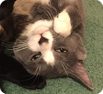 Domestic Shorthair Kitten for adoption in Barrington, New Jersey - Forrest