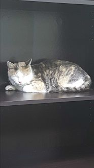 Calico Cat for adoption in Albemarle, North Carolina - Starla