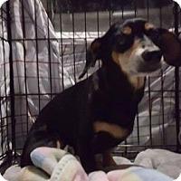 Adopt A Pet :: Stuart - Seahurst, WA