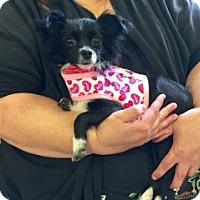 Adopt A Pet :: Marci - Brea, CA