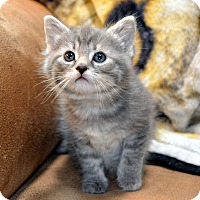 Adopt A Pet :: Justice - Richmond, VA