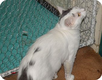 Domestic Mediumhair Cat for adoption in Scottsdale, Arizona - Loving Charmin- Defender