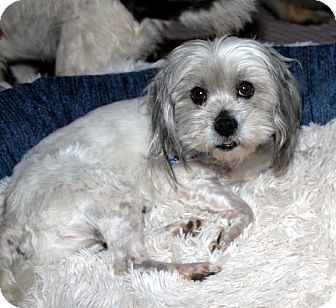 Shih Tzu/Poodle (Toy or Tea Cup) Mix Dog for adoption in Mission Viejo, California - MONTY