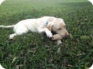 Labrador Retriever Mix Dog for adoption in Russellville, Kentucky - Chaney