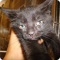Domestic Shorthair Cat for adoption in Miami, Florida - Nikki