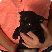 Adopt A Pet :: Evee - Santa Ana, CA