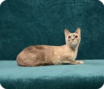 Siamese Cat for adoption in Cary, North Carolina - Aurora