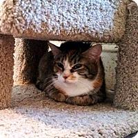 Domestic Shorthair Kitten for adoption in Putnam, Connecticut - Daphne