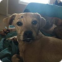 Adopt A Pet :: Bingo - Russellville, KY