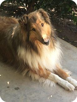 Collie Mix Dog for adoption in Riverside, California - Lassie