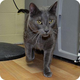 Domestic Shorthair Cat for adoption in Wheaton, Illinois - Ben