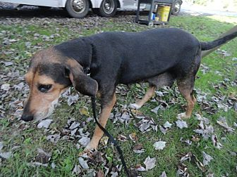 Black and Tan Coonhound/Beagle Mix Dog for adoption in Dunmore, West Virginia - Harper