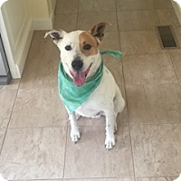 Adopt A Pet :: Scout - Harrison, NY