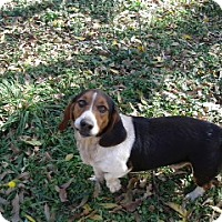 Basset Hound/Beagle Mix Dog for adoption in Littleton, Colorado - Jethro