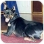 Photo 3 - Miniature Pinscher Dog for adoption in Florissant, Missouri - Diesel