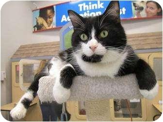 Domestic Shorthair Cat for adoption in Chesapeake, Virginia - Blimpie