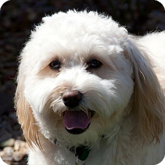Bichon Frise Mix Dog for adoption in La Costa, California - Tipper