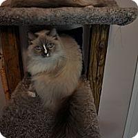 Adopt A Pet :: Ragdolls - Lake Charles, LA