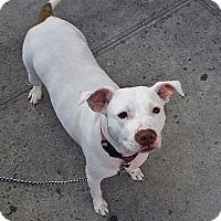 Adopt A Pet :: Kelsey - Brooklyn, NY